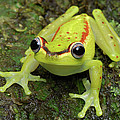 Tree Frog Hyla Rubracyla, Colombia by Thomas Marent