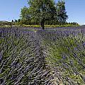 Tree In A Field Of Lavender. Provence by Bernard Jaubert