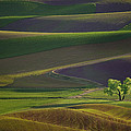 Tree In The Palouse by Lori Grimmett