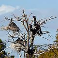 Tree Of Florida Cormorants by Michelle Constantine