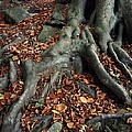 Tree Roots Of A Beech Tree by Adrian Bicker