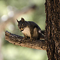 Tree Squirrel by Dianne Phelps