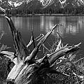 Tree Stump On The Shore Of Lewis Lake At Yellowstone by Randall Nyhof