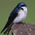 Tree Swallow by Bruce J Robinson