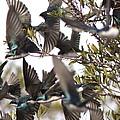 Tree Swallow Frenzy by Travis Truelove