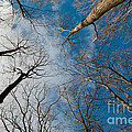 Tree Tops On The Wild Turkey Trail by Gary Chapple