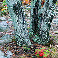 Tree Trio In Lichen At Hawn State Park by Greg Matchick