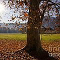 Tree With Autumn Leaves by Mats Silvan