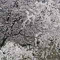 Trees Heavy With Cherry Blossoms by Darlyne A. Murawski