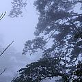 Trees In Fog 3  by Maxine Bochnia