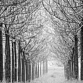Trees In Lines by Victor Bezrukov