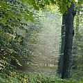 Trees In The Woods In The Early Morning by David Chapman