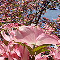 Trees Nature Fine Art Prints Pink Dogwood Flowers by Baslee Troutman