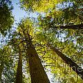 Trees Of Devoto by Idaho Scenic Images Linda Lantzy