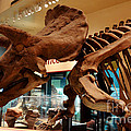 Triceratops At The Smithsonian by Pravine Chester