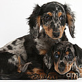 Tricolor Dachshund Puppies by Mark Taylor