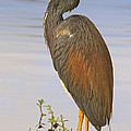 Tricolor Heron by Dave Mills