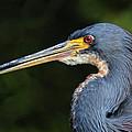 Tricolor Heron Portrait by Dave Mills