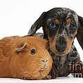 Tricolor Merle Dachshund Pup And Red by Mark Taylor