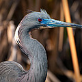 Tricolored Heron In Breeding Plumage by Rich Leighton