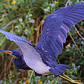 Tricolored Heron In Flight by Roena King