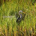 Tricolored Heron by Rich Franco