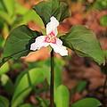 Trillium Wildflower by Roupen  Baker