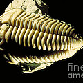 Trilobite Fossil by Ted Kinsman