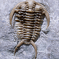 Trilobite by Francois Gohier and Photo Researchers