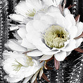 Triple Torch Cactus by Linda Dunn