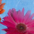 Triptych Gerbera Daisies-two by Betty LaRue