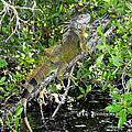 Tropical Iguana by David Lee Thompson