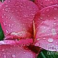 Tropical Rose by Susan Herber