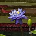 Tropical Water Lilies by Byron Varvarigos