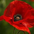Truly Red Oriental Poppy Wildflower by Kathy Clark