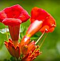 Trumpet Blossoms by Barry Jones