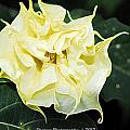Trumpet Flower Accented Fx  by G Adam Orosco