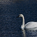 Trumpeter Swan by Edward Peterson