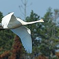 Trumpeter Swan In Flight by Teresa McGill