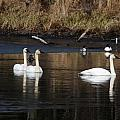 Trumpeter Swans by Doug Lloyd