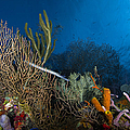Trumpetfish, Belize by Todd Winner