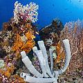 Tube Sponge On Coral Reef In Raja by Todd Winner