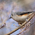 Tufted Titmouse - On The Slope by Travis Truelove