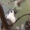Tufted Titmouse - The Bomb by Travis Truelove