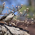 Tufted Titmouse - Bird - Color In Shadows by Travis Truelove