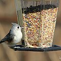Tufted Titmouse by Ericamaxine Price