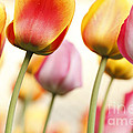 Tulip - Impressions 1 by Martin Williams