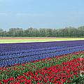Tulip And Hyacinth Fields In Holland. Panorama by Ausra Huntington nee Paulauskaite
