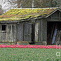 Tulip Barn by Mitch Shindelbower