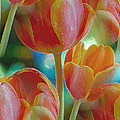 Tulip Fascination by Donna Blackhall